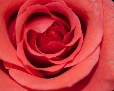Rose de Saint-Valentin